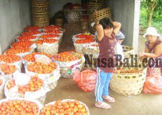 Nusabali.com - tomat-lokal-langka-tomat-lombok-datang