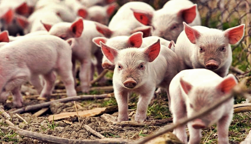 63+ Gambar Babi Penampahan Galungan Paling Hist