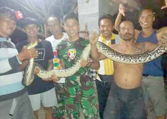 Nusabali.com - tentara-dan-warga-tangkap-ular-3-meter