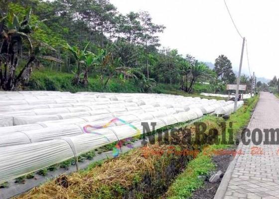 Nusabali.com - petani-stroberi-pancasari-merugi