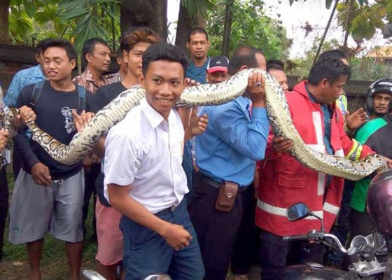Nusabali.com - ular-sepanjang-7-meter-melintas-di-depan-smpn-9-denpasar
