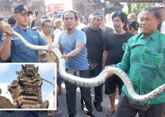 Nusabali.com - ular-piton-ditangkap-di-atas-candi-bentar-pura