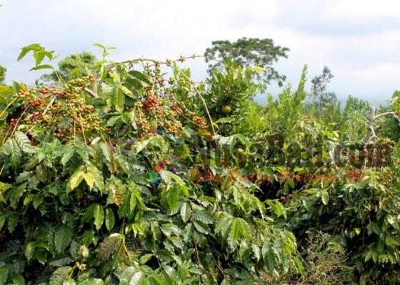 Nusabali.com - petani-kopi-bersiap-memasuki-musim-panen