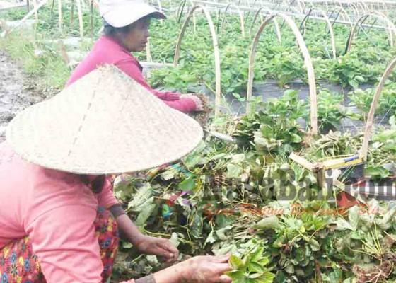 Nusabali.com - petani-buntung-saat-harga-stroberi-melambung