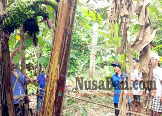 Nusabali.com - heboh-pohon-pisang-bertandan-tujuh