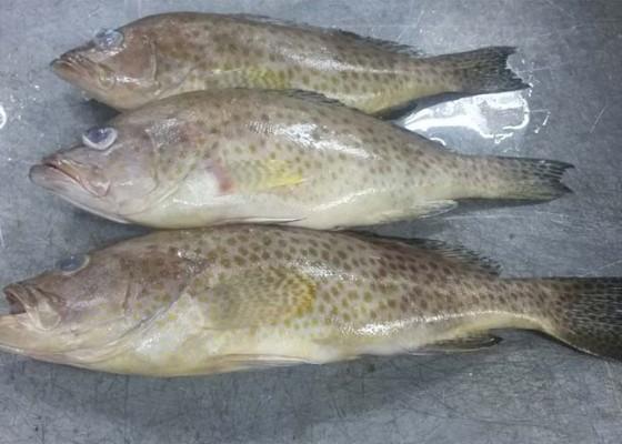 Nusabali.com - nelayan-serangan-pilih-budidaya-kerapu
