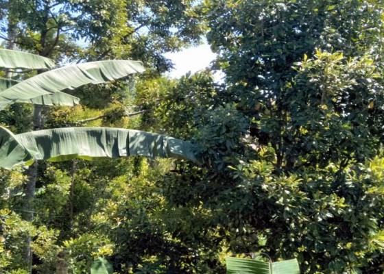 Nusabali.com - cuaca-tidak-menentu-panen-cengkih-turun