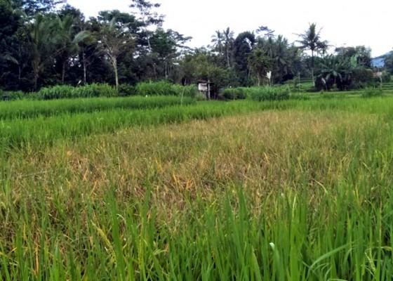 Nusabali.com - serangan-hama-tikus-resahkan-petani
