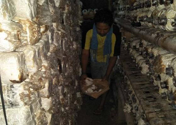 Nusabali.com - permintaan-cukup-tinggi-petani-jamur-kewalahan