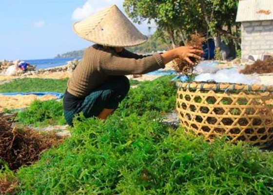 Nusabali.com - musim-panen-harga-bulung-sangu-merosot