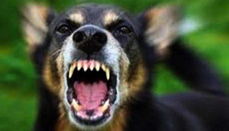 www.nusabali.com-7-kasus-rabies-menimpa-bangli