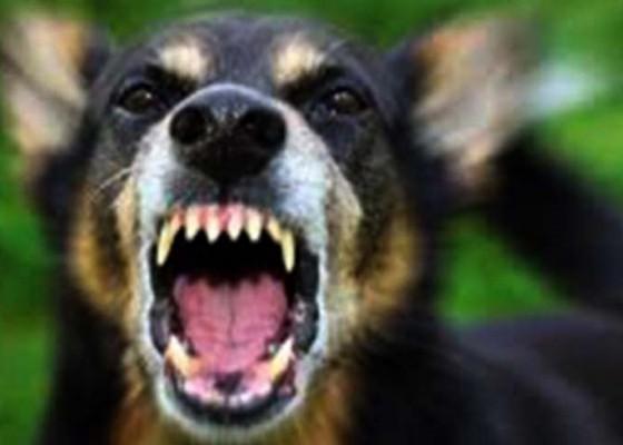Nusabali.com - 7-kasus-rabies-menimpa-bangli