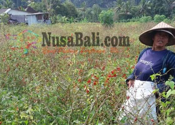 Nusabali.com - hama-dan-jamur-serang-cabai