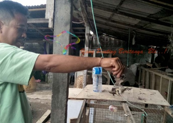 Nusabali.com - puluhan-ayam-aduan-mati-diduga-kena-snot