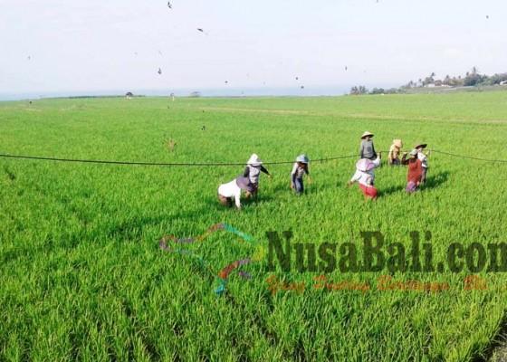 Nusabali.com - petani-keluhkan-kabel-melintang-di-subak-tegak-gede