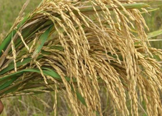 Nusabali.com - 142-hektare-padi-gagal-panen