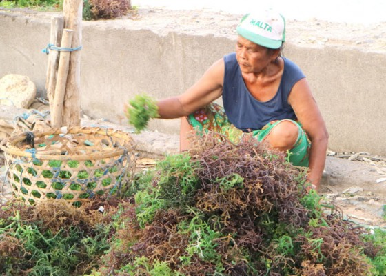 Nusabali.com - petani-rumput-laut-memprihatinkan