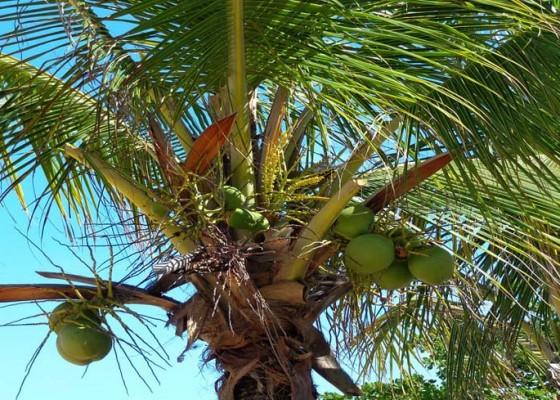 Nusabali.com - hama-nyungah-serang-kelapa-di-desa-pesedahan-dan-nyuhtebel