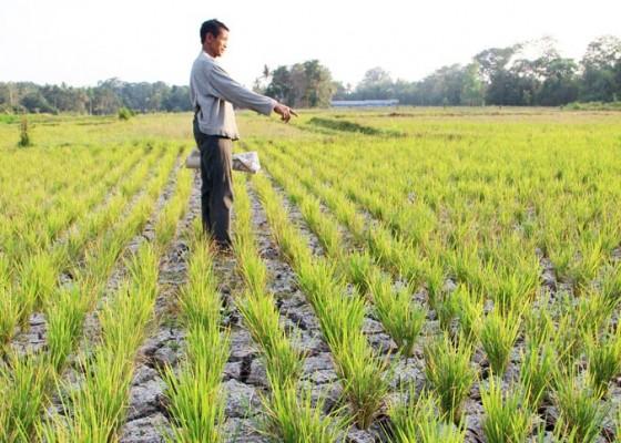 Nusabali.com - 35-hektare-padi-alami-puso