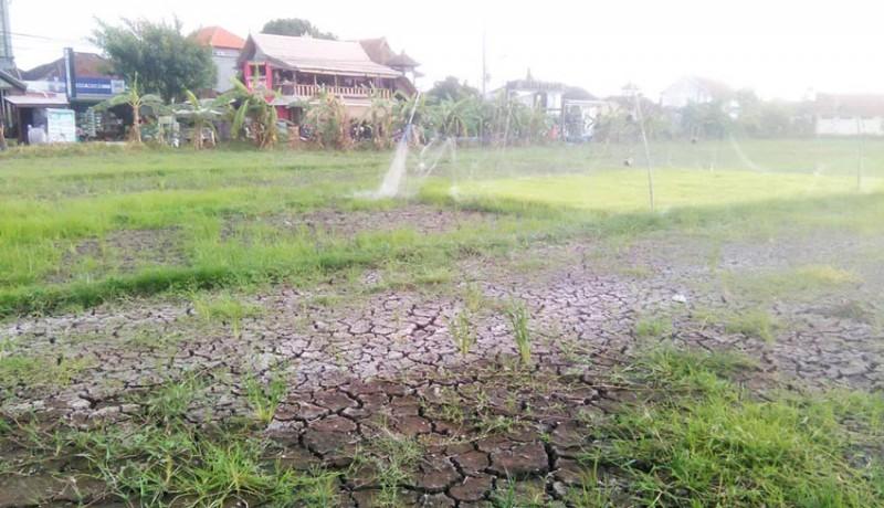 www.nusabali.com-lahan-pertanian-di-canggu-kering