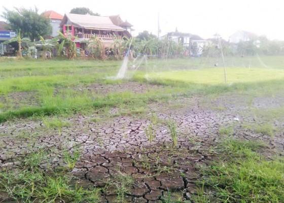 Nusabali.com - lahan-pertanian-di-canggu-kering