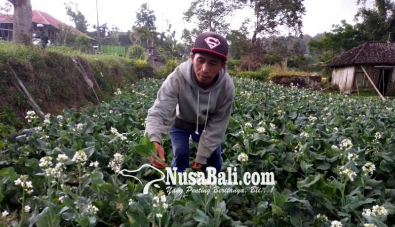 www.nusabali.com-rawat-cuciwis