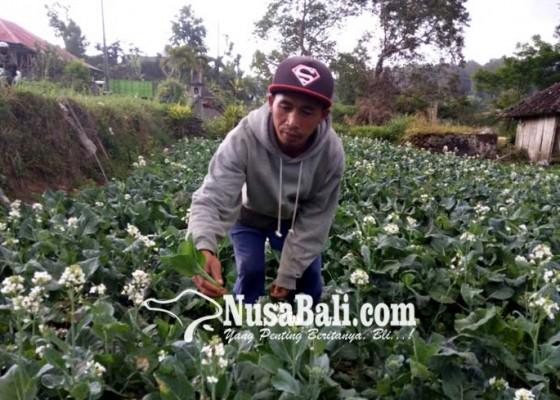 Nusabali.com - rawat-cuciwis