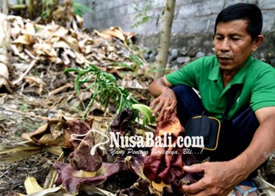 Nusabali.com - bunga-bangkai-ditemukan-di-kebun-warga