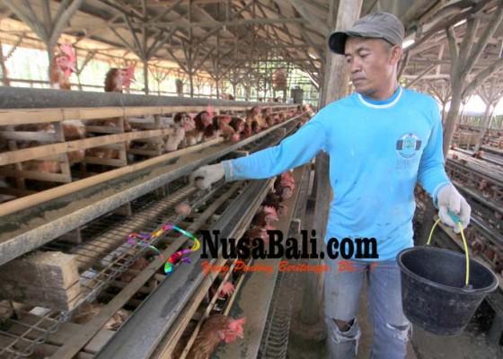 Nusabali.com - izin-usaha-peternak-dicabut-jika-pakai-antibiotik