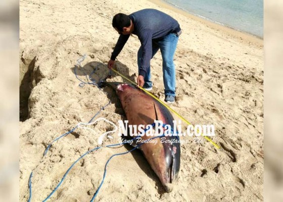 Nusabali.com - lumba-lumba-penuh-luka-terdampar