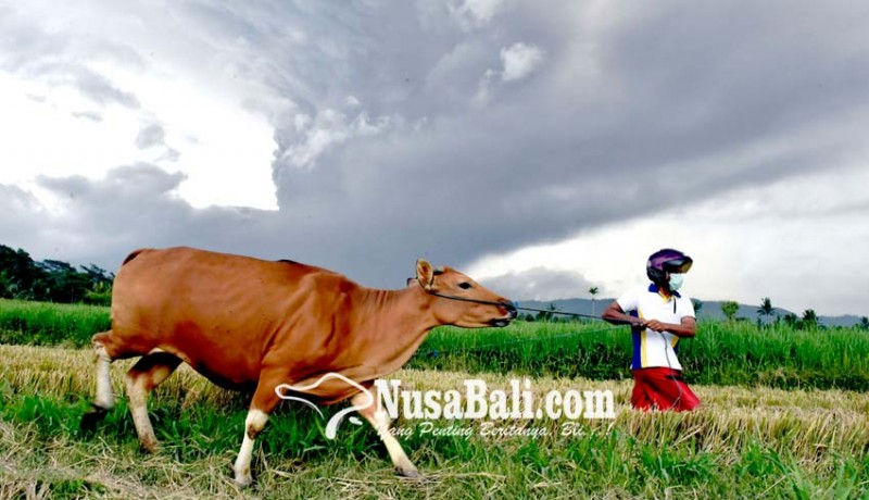 www.nusabali.com-gunung-agung-erupsi