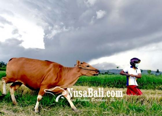 Nusabali.com - gunung-agung-erupsi