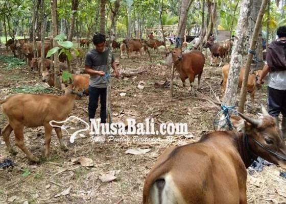 Nusabali.com - papua-barat-pelajari-peternakan-babi-di-desa-bila