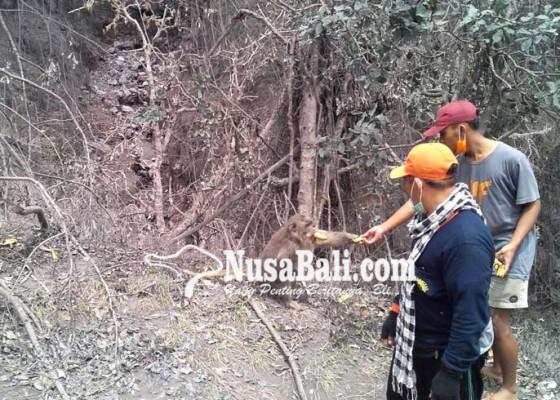 Nusabali.com - kera-di-gunung-agung-kelaparan