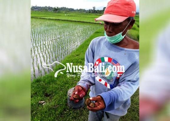 Nusabali.com - petani-subak-pangkung-gondang-dipusingkan-serangan-hama-keong