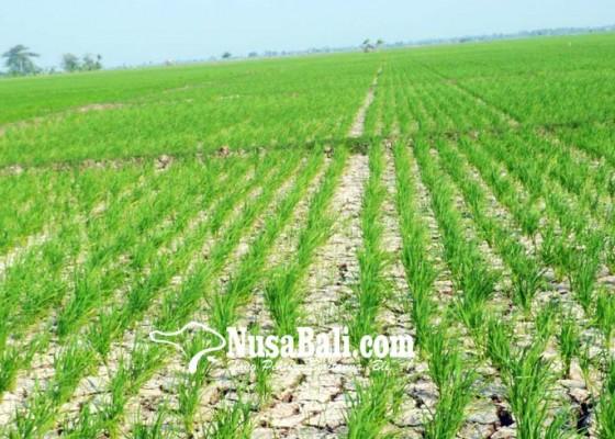 Nusabali.com - puluhan-hektare-sawah-krisis-air