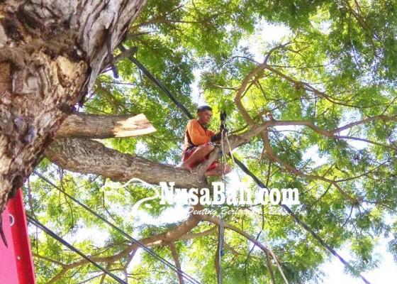 Nusabali.com - pohon-perindang-berisiko-dirapikan