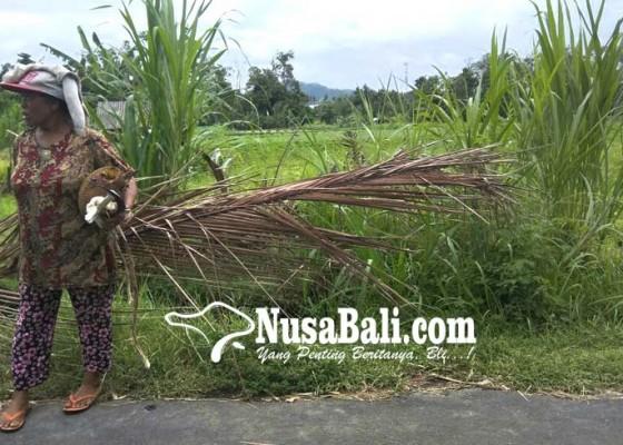 Nusabali.com - kera-serang-subak-beneng