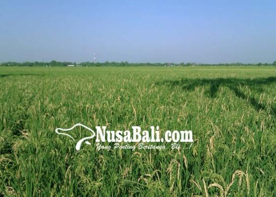 Nusabali.com - sawah-di-klungkung-menyusut-64-ha