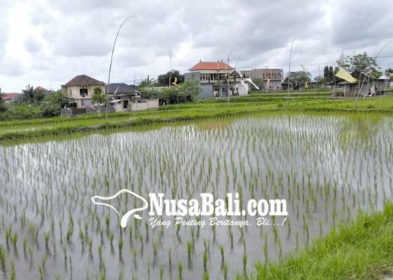 Nusabali.com - lahan-persawahan-di-denpasar-menyusut-20-30-hektare-pertahun