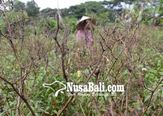 Nusabali.com - tanaman-cabai-di-gelgel-mengering