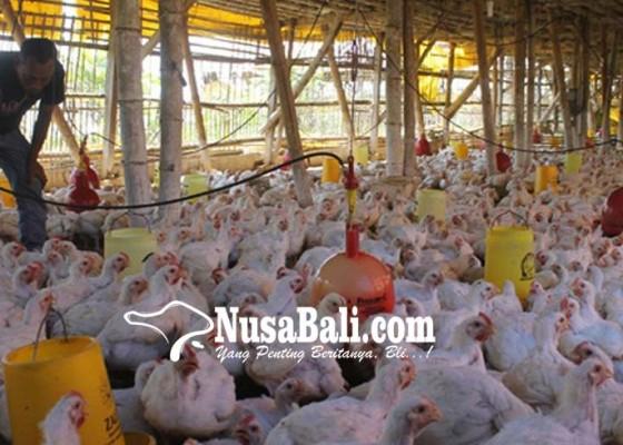 Nusabali.com - gagal-panen-peternak-ayam-masih-untung