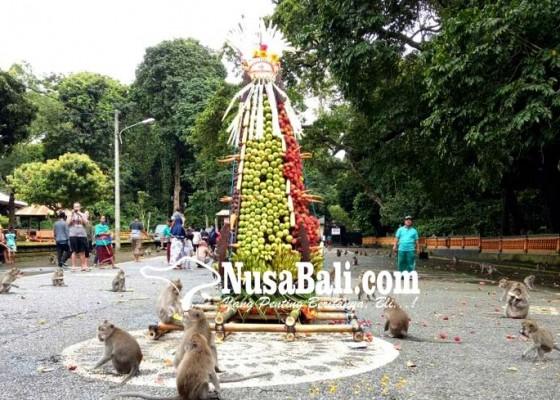 Nusabali.com - gebogan-setinggi-25-meter-direbut-ribuan-kera