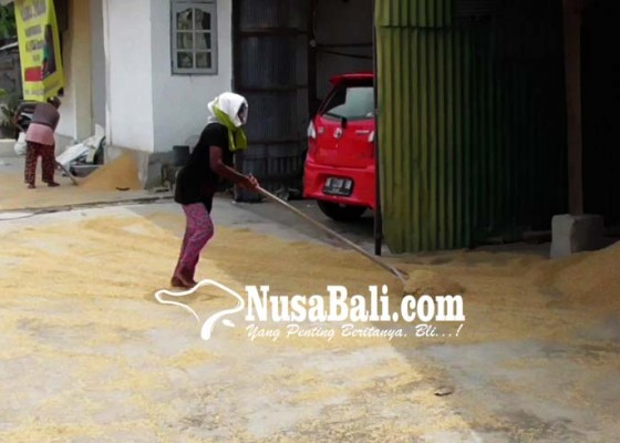 Nusabali.com - pasokan-gabah-ke-penggilingan-padi-menurun