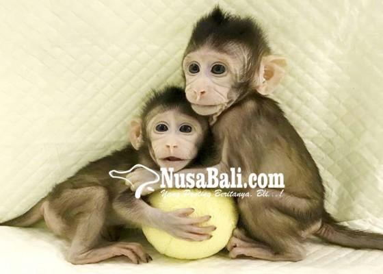 Nusabali.com - china-berhasil-kloning-monyet