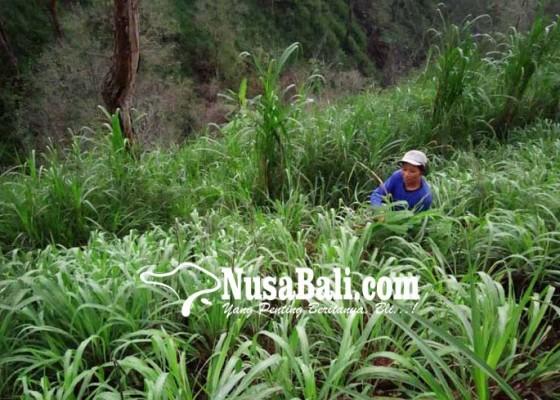 Nusabali.com - tanam-sereh-wangi-yang-tahan-abu-vulkanik-seluas-5-hektare