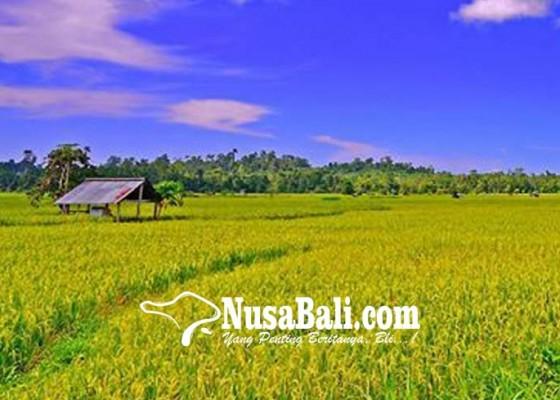 Nusabali.com - musim-hujan-69-hektare-tanaman-padi-diserang-penyakit