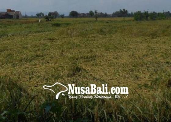 Nusabali.com - kerusakan-lahan-pertanian-meluas