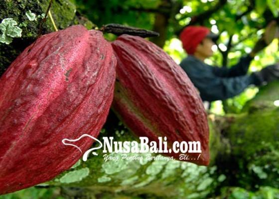 Nusabali.com - peremajaan-kakao-siapkan-bantuan-6500-bibit-unggulan
