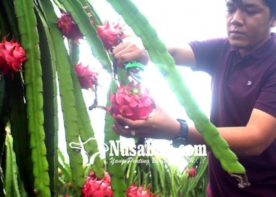 Nusabali.com - nanas-dan-buah-naga-bakal-diekspor-ke-china